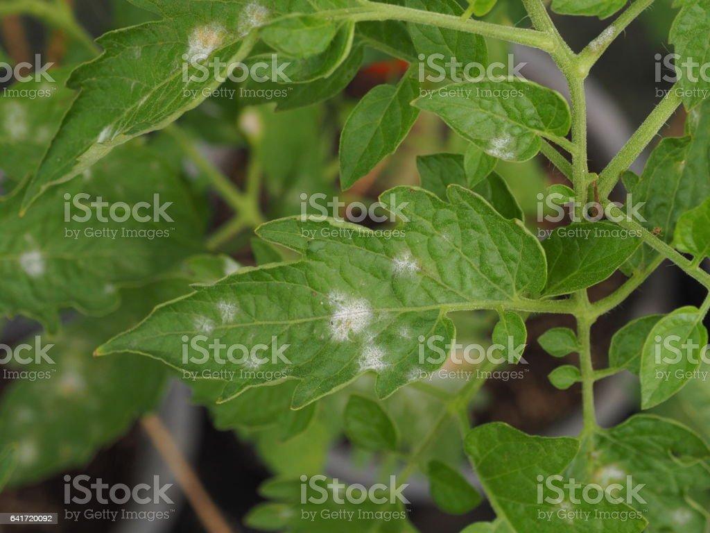 powdery mildew in tomato. stock photo
