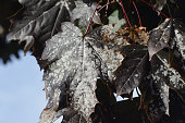 Powdery mildew on dark leafpurple leaved Norway maple Schwedler