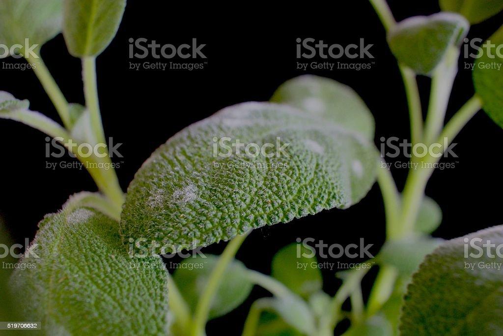 Powdery mildew on sage. stock photo