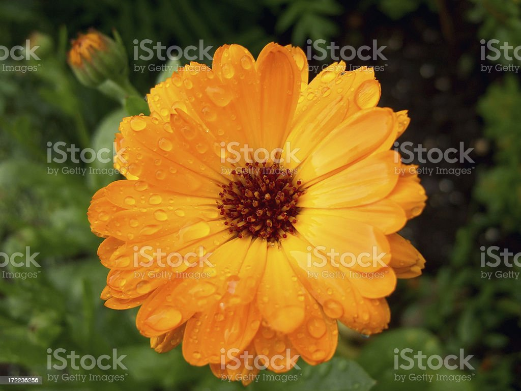 power flower raindrops royalty-free stock photo