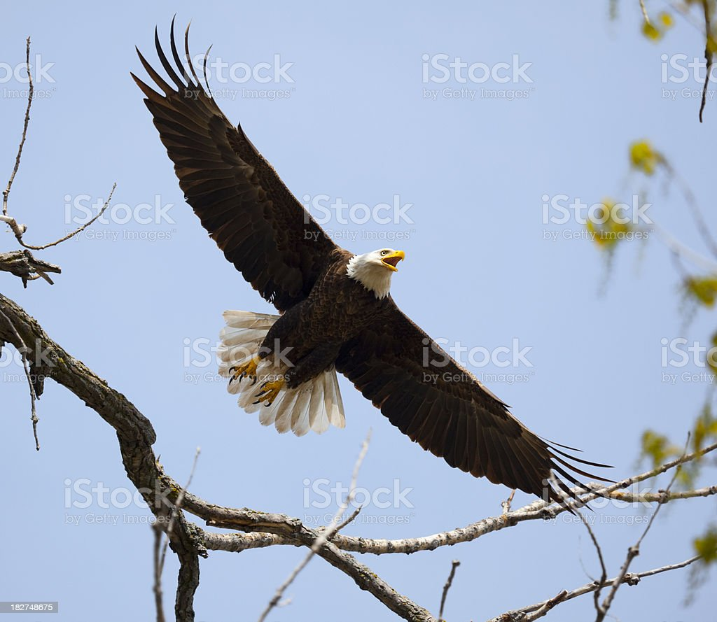 Powerful Bald Eagle Flying Fearlessly, Gracefully Through Tree Branches stock photo