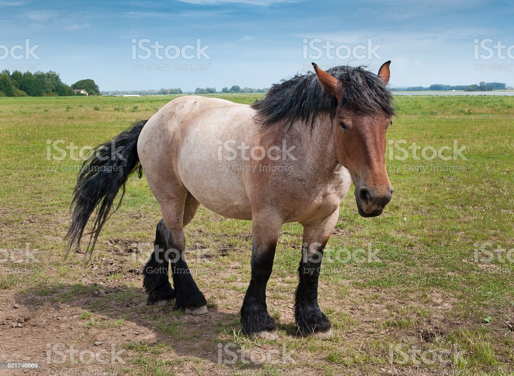 Powerful Belgian horse standing in the field stock photo