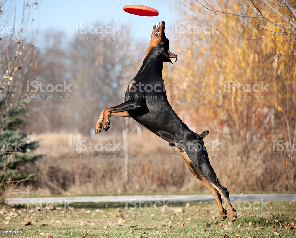 Doberman pinscher jumping