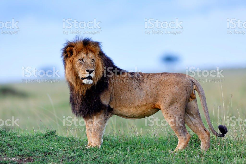 Powerful Lion Lipstick of Rekero Pride in Masai Mara stock photo