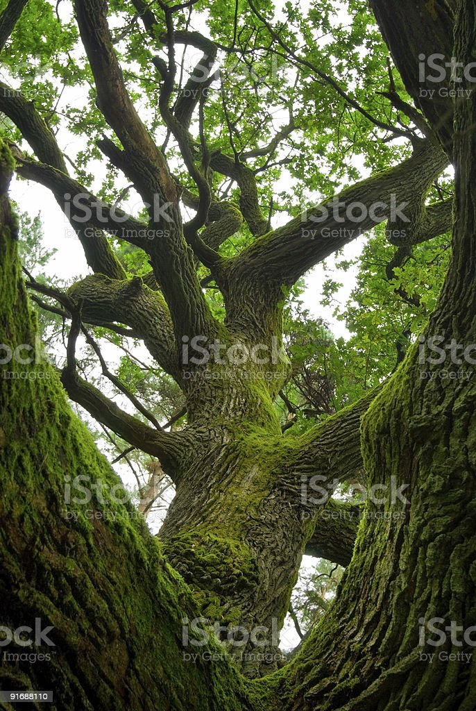 Powerful oak. royalty-free stock photo