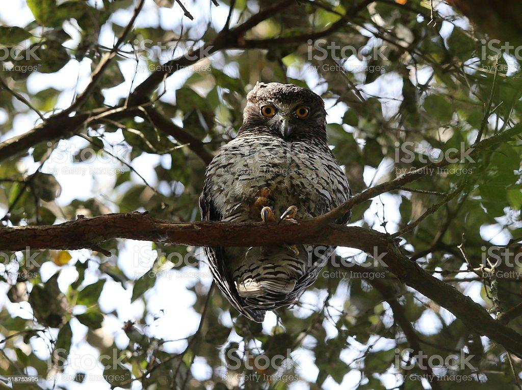 Powerful Owl in Beecroft, NSW, Australia royalty-free stock photo
