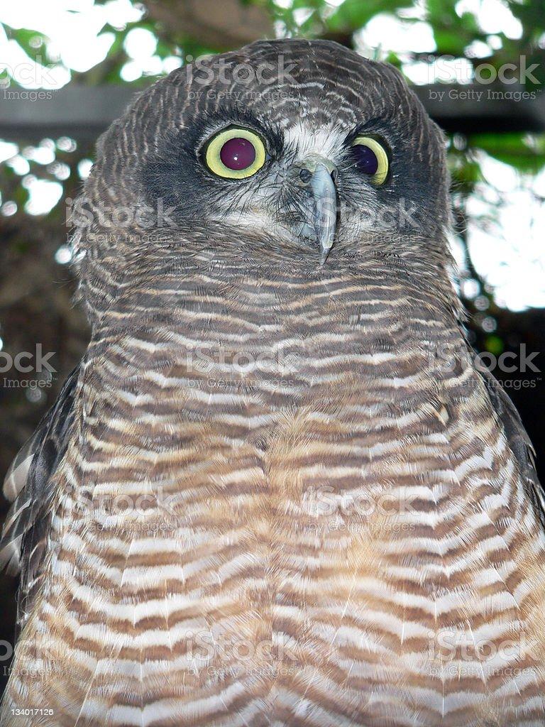 powerful owl stock photo
