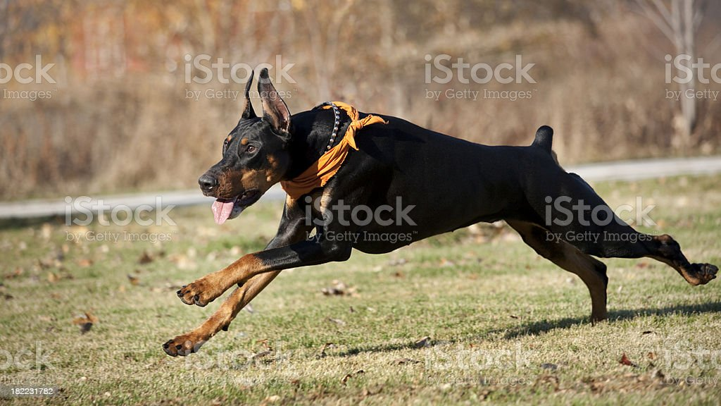 Powerful, Sleek, Fierce Black Doberman Pinscher Dog Running Fast Outside royalty-free stock photo
