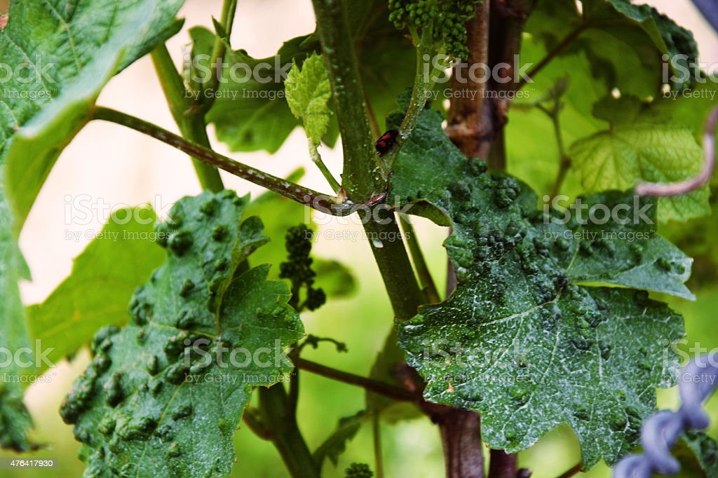 Pox mite on vine stock photo