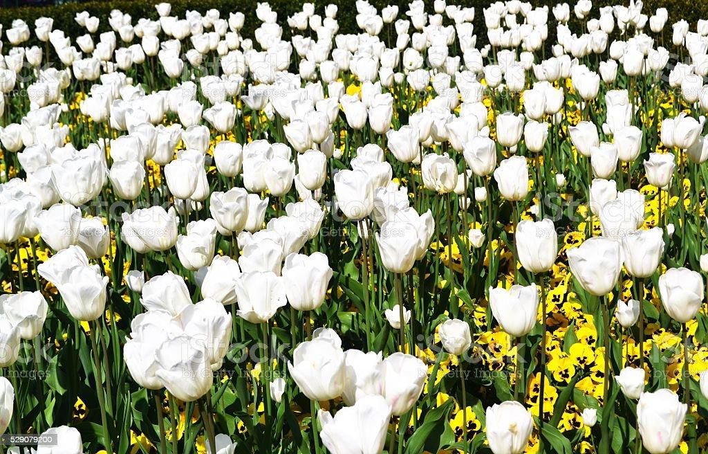 Praga, campo di tulipani stock photo