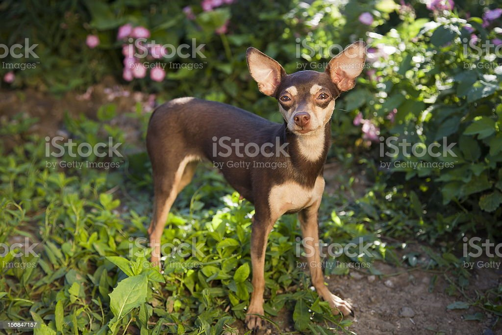 Prague ratter in the grass stock photo