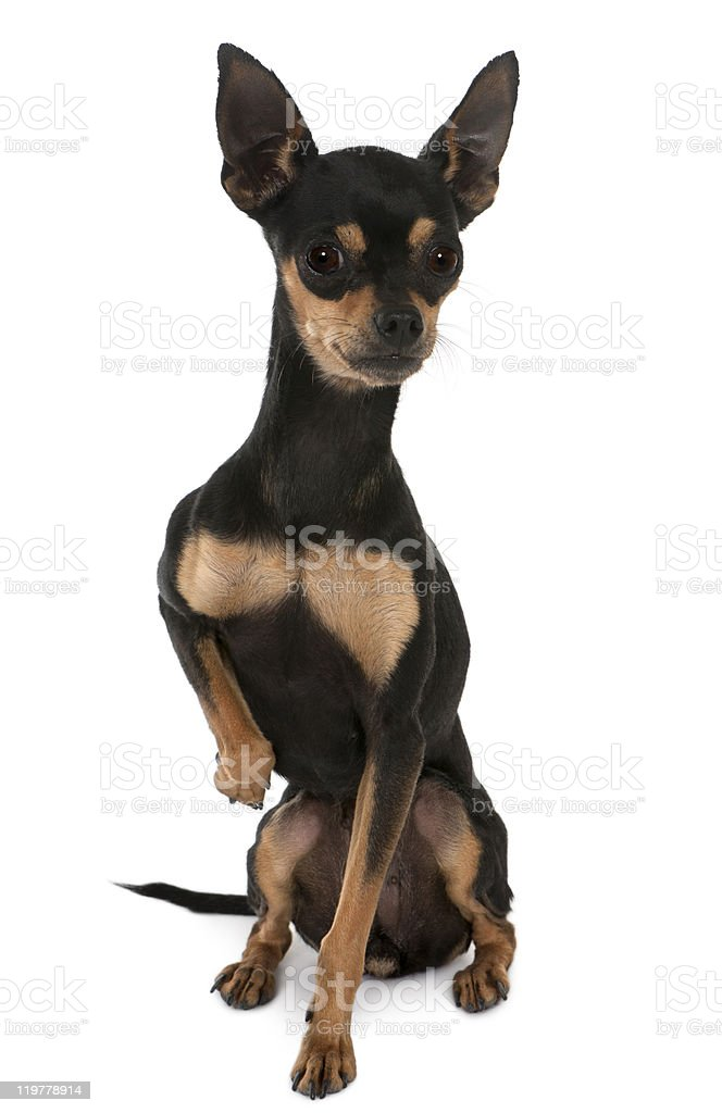 Prague Ratter or Prazsky krysarik, sitting, white background stock photo