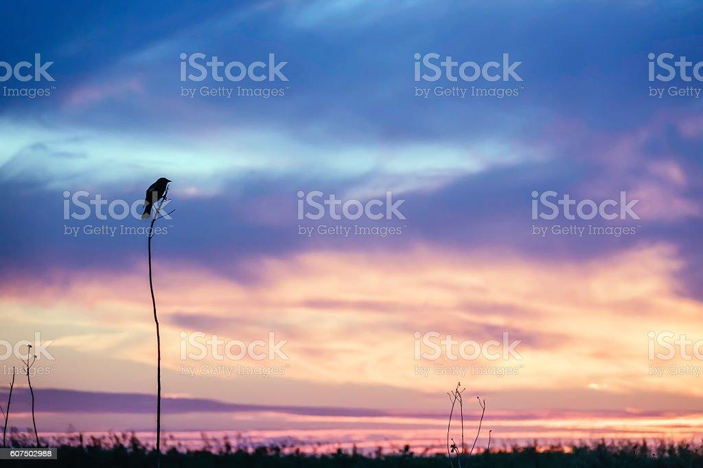 Prairie blackbird silhouette stock photo