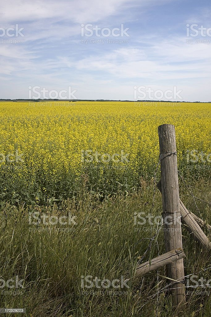 Prairie Canola Crop and Fence Post stock photo