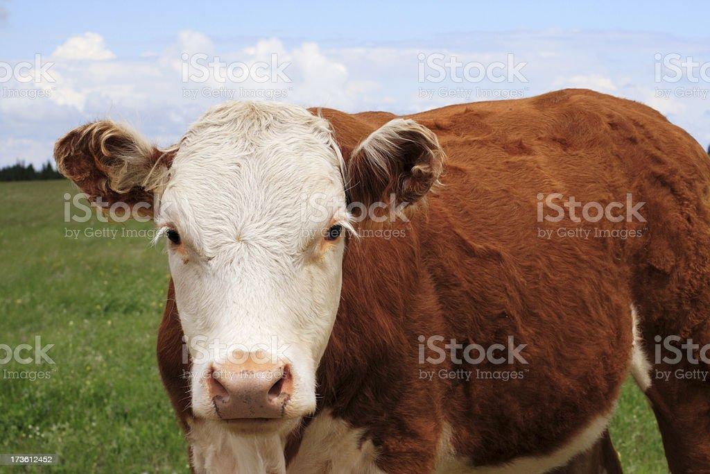 Prairie Cow royalty-free stock photo