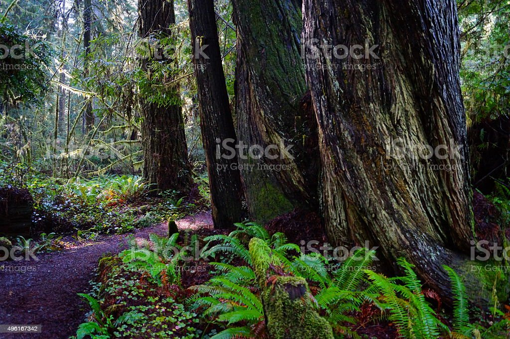 Prairie Creek Redwoods Scene stock photo