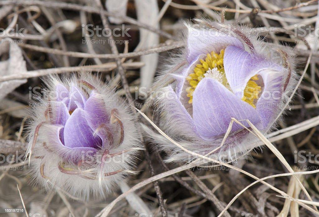 Prairie Crocus or Pasque Flower stock photo