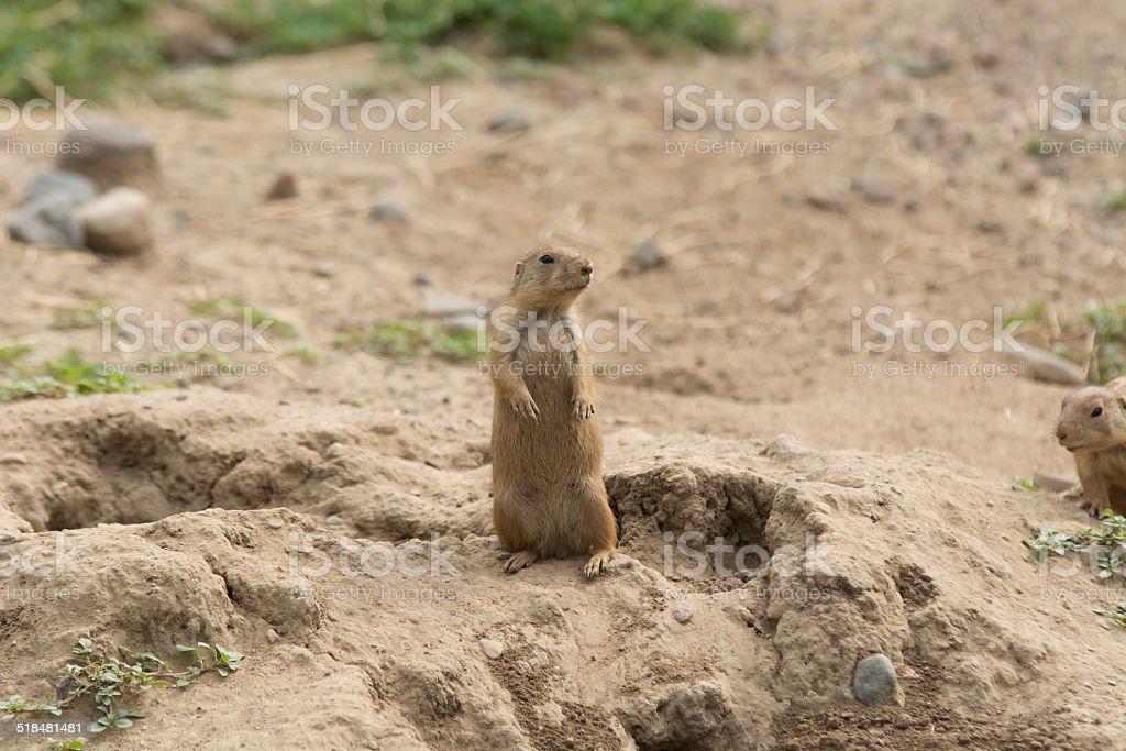 Prairie Dog 2 stock photo
