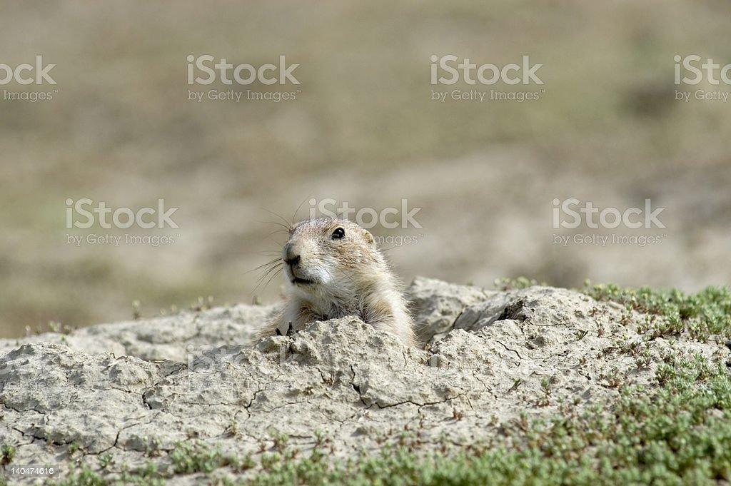 Prairie dog at his burrow stock photo