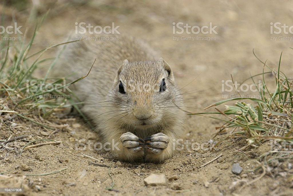 Prairie Dog - closeup stock photo