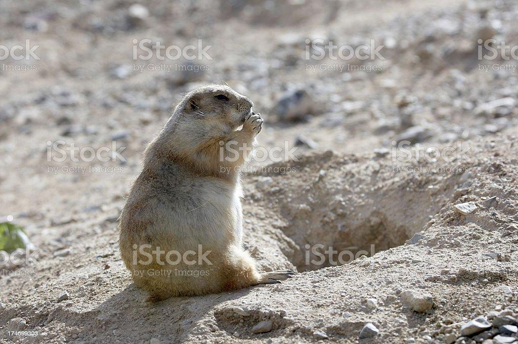 Prairie dog eating outside burrow royalty-free stock photo