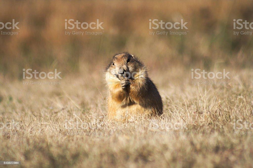 Prairie Dog Eating stock photo
