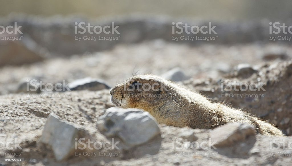 Prairie dog emerging from burrow royalty-free stock photo