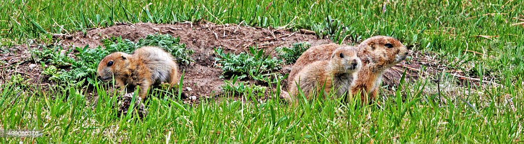 Prairie Dog family in Wind Cave National Park stock photo