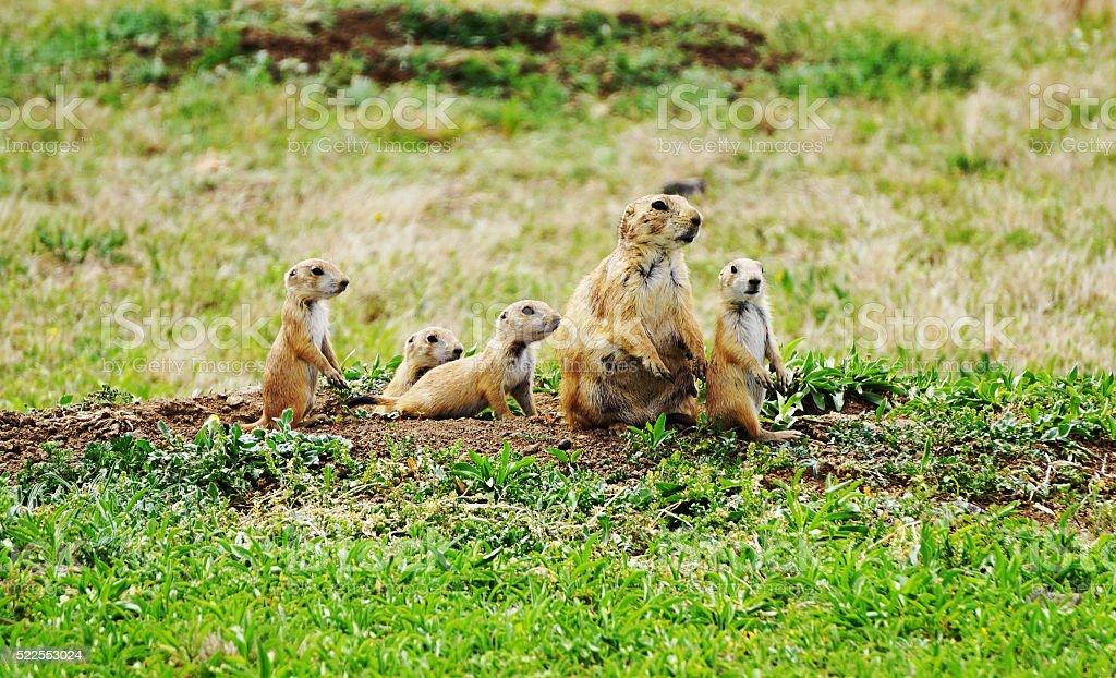 Prairie Dog Family stock photo