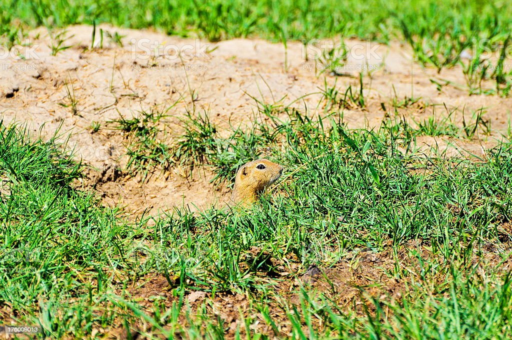 Prairie dog hidding in a hole royalty-free stock photo