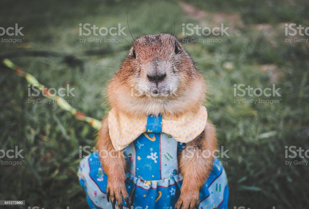 Prairie dog in a blue dress on a lawn