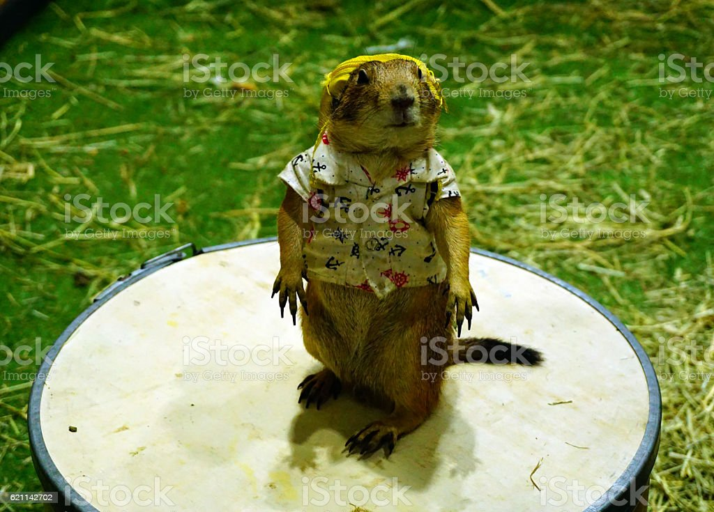 Prairie Dog is wering a shirt with yellow backpack stock photo