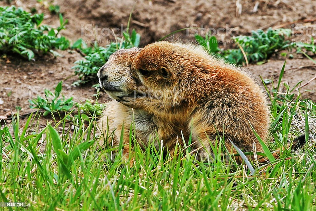 Prairie Dog kiss between mother and pup Yellowstone National Park stock photo