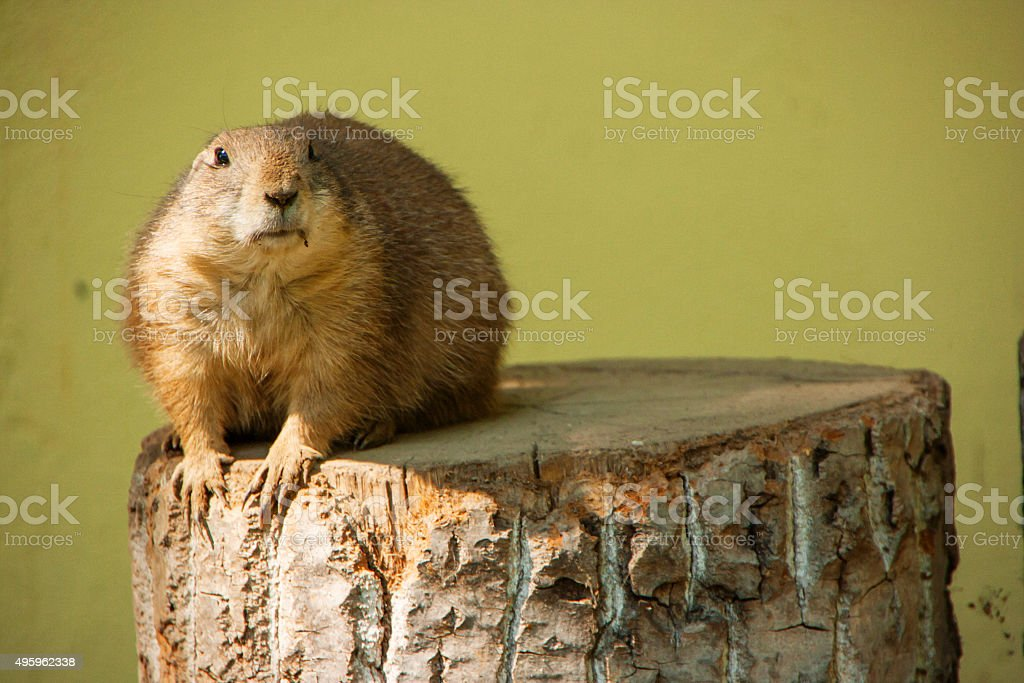 Prairie dog - left side background stock photo