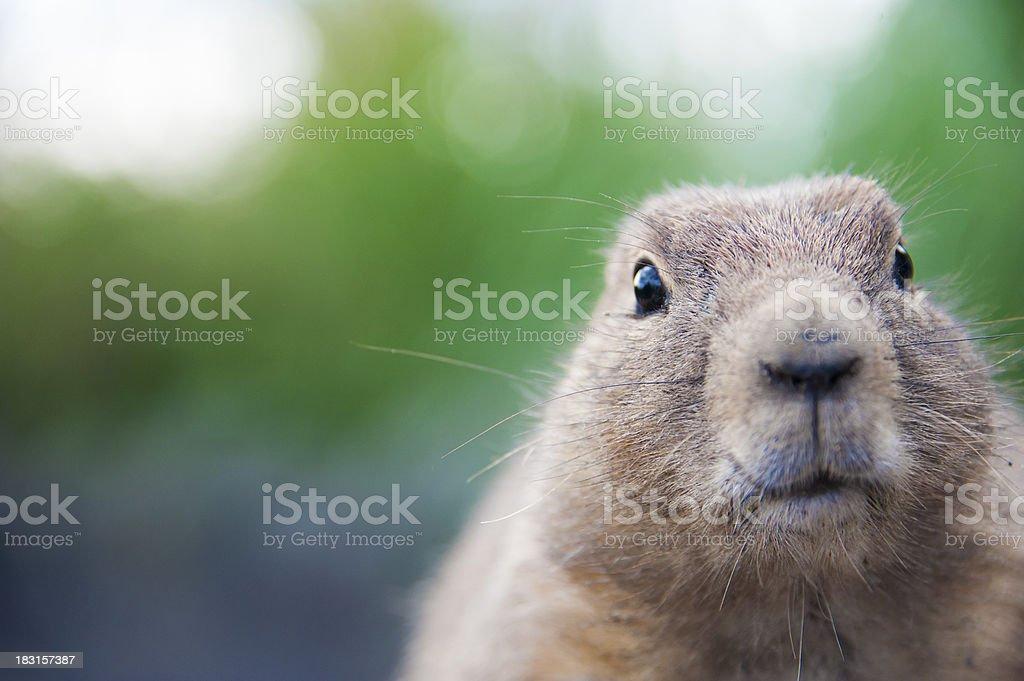Prairie dog looking at camera stock photo