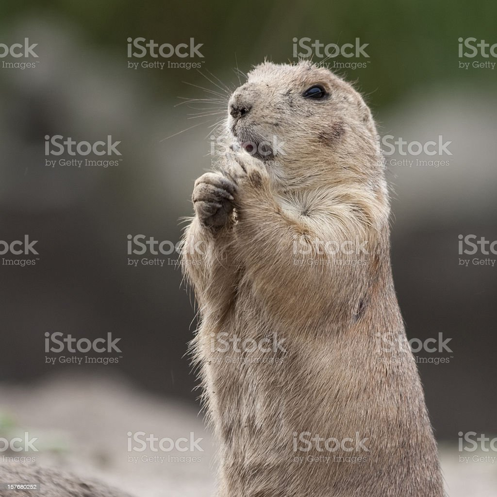 Prairie Dog Look-out stock photo