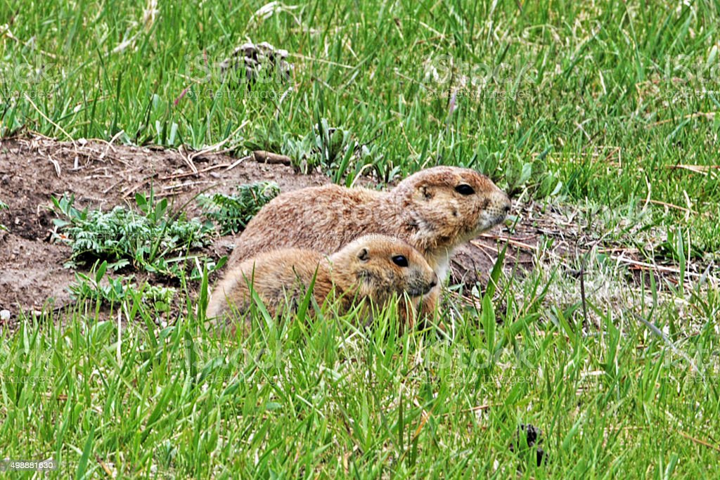Prairie Dog mother and pup in Wyomings Yellowstone National Park stock photo