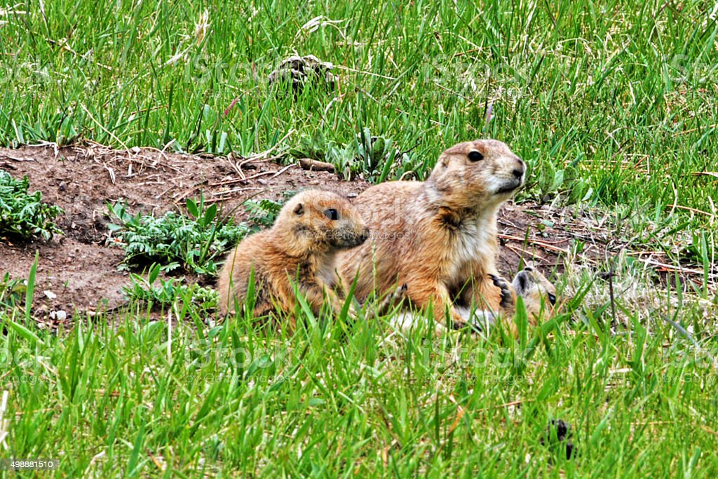 Prairie Dog mother and pup in Yellowstone National Park stock photo