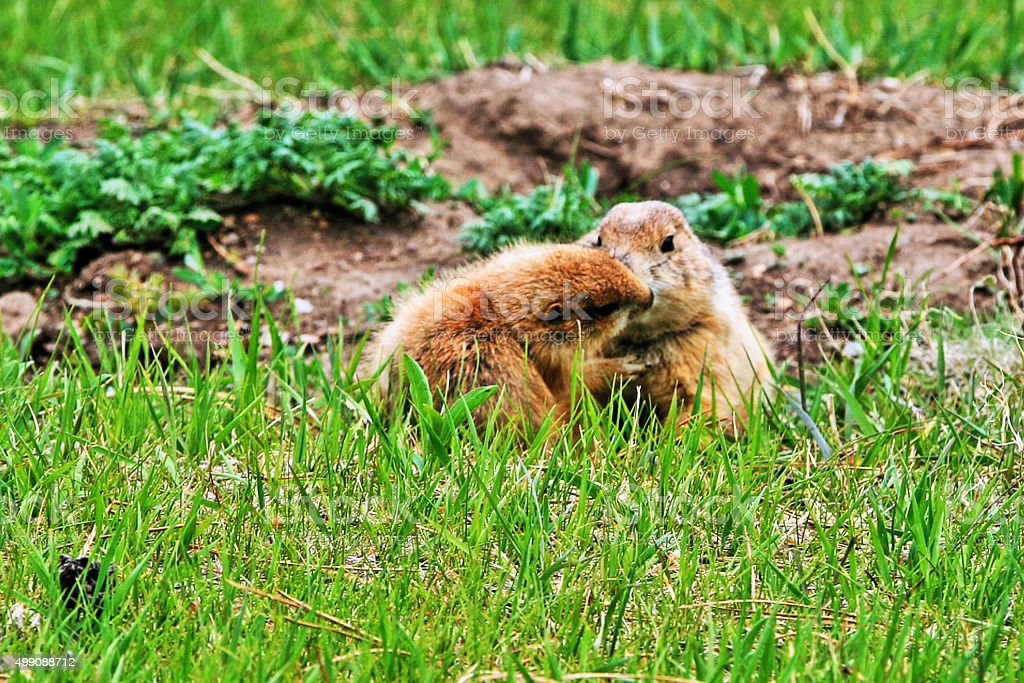 Prairie Dog mother and pup kiss in Yellowstone National Park stock photo