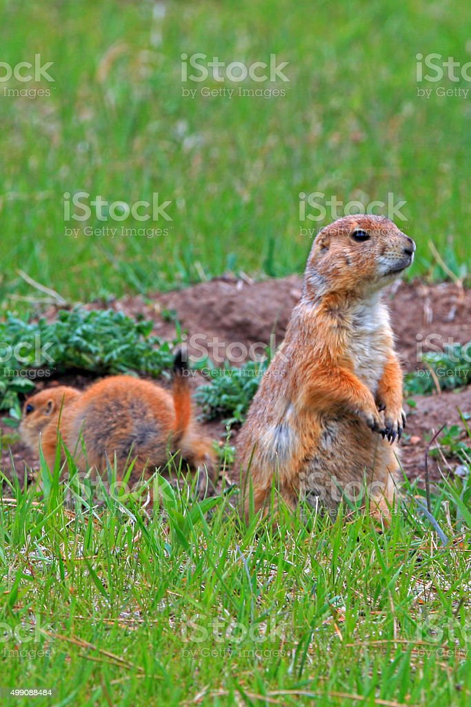 Prairie Dog mother standing guard in Yellowstone National Park stock photo
