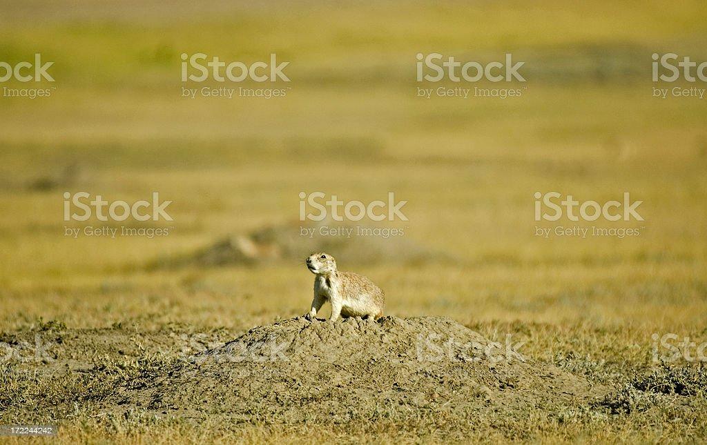 Prairie Dog on his mound stock photo