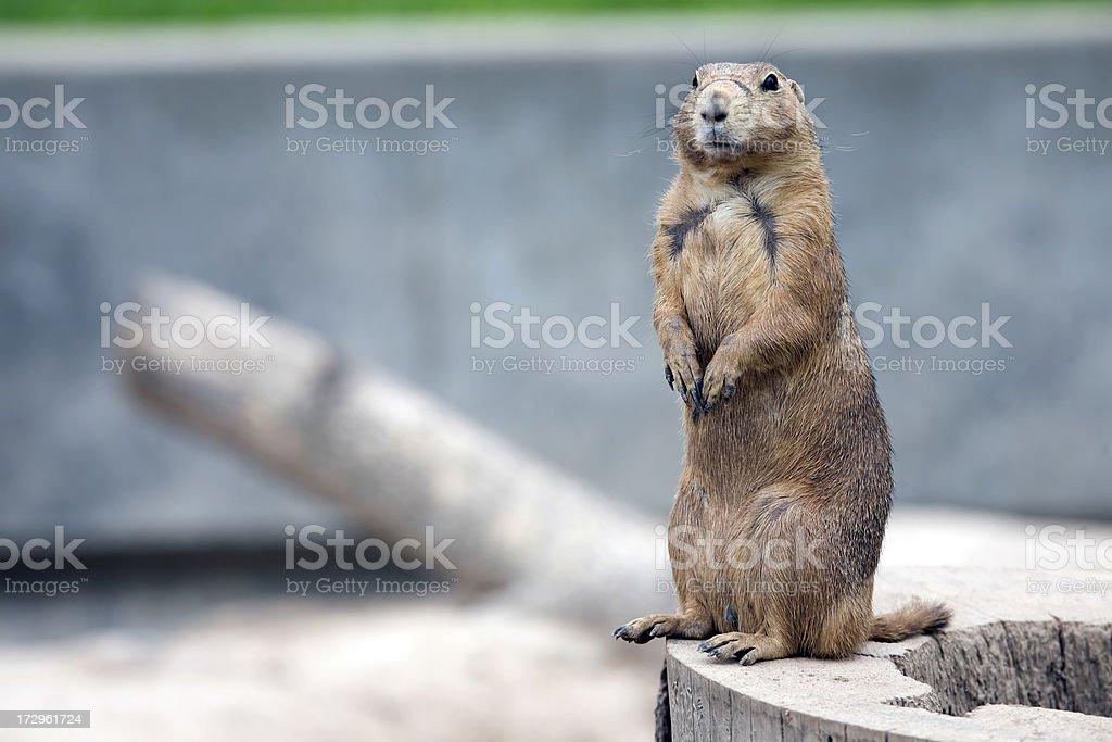Prairie Dog on Log (XL) stock photo