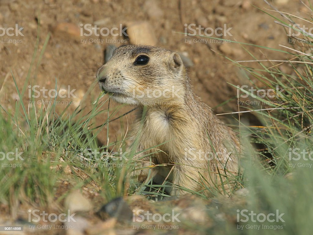 Prairie Dog On The Lookout royalty-free stock photo