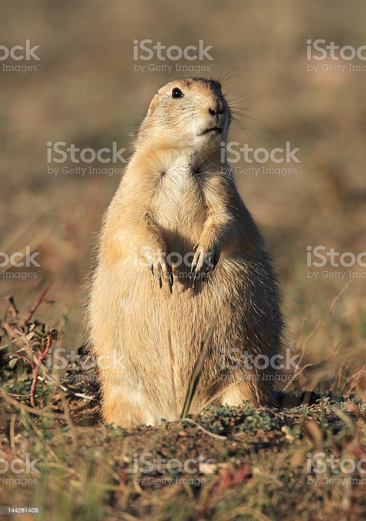 Prairie Dog royalty-free stock photo