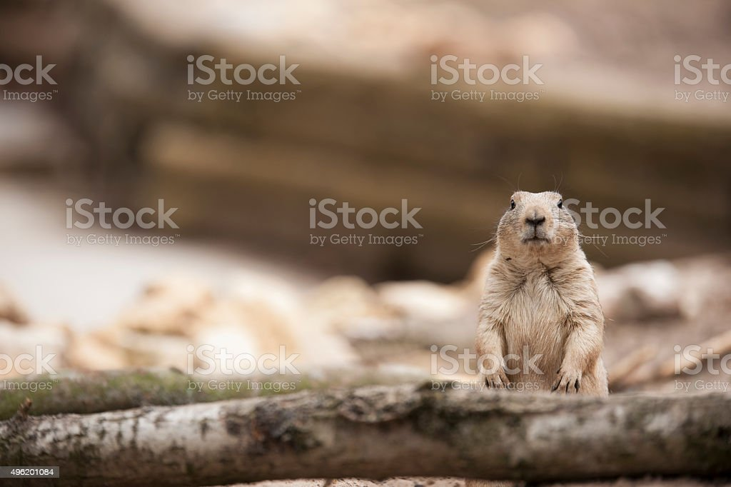 Prairie dog stock photo