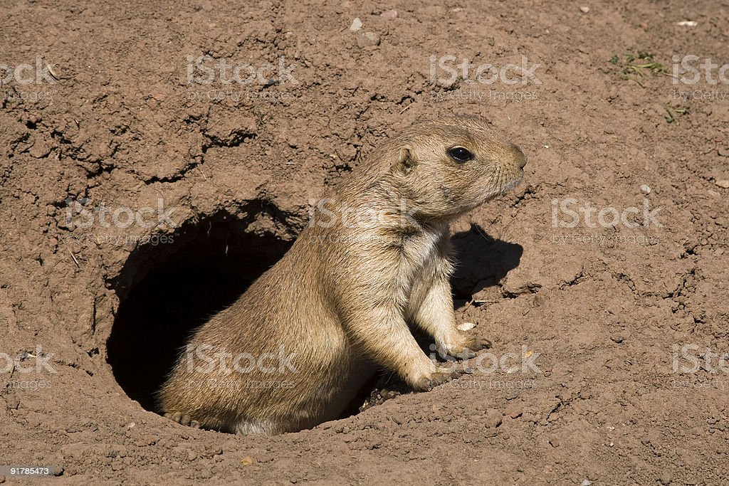 Prairie dog (Cynomys) stock photo