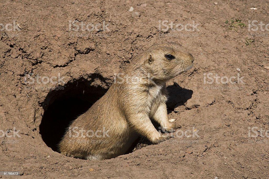 Prairie dog (Cynomys) stock photo