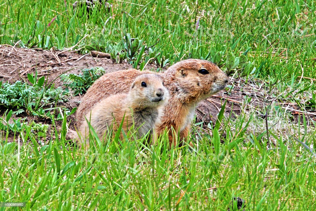 Prairie Dog Pup and Mother in Custer State Park stock photo