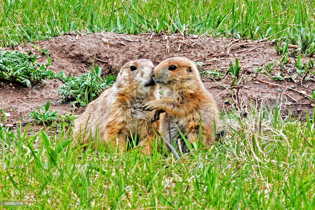 Prairie Dog Pup and Mother kiss in Custer State Park stock photo