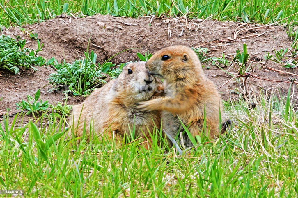 Prairie Dog Pup grooming Mother in Custer State Park stock photo